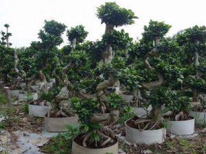 s shape ficus microcarpa bonsai 4dc0f5ce1ebb480eb1b622bcbf97c45e 1024x1024